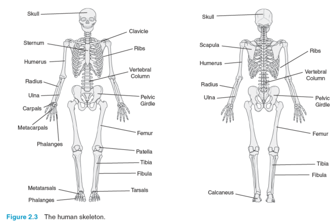 The Skeletal System – Skeletal System Diagram Worksheet