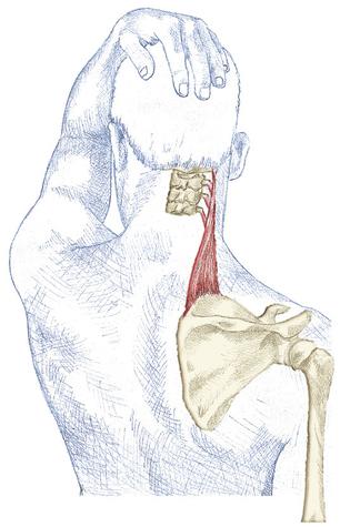 prescriptive stretching - levator scapulae - kristian berg, Human Body