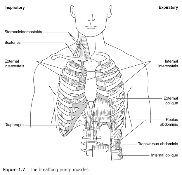 breathe strong perform bettter - anatomy and physiology of muscles, Muscles