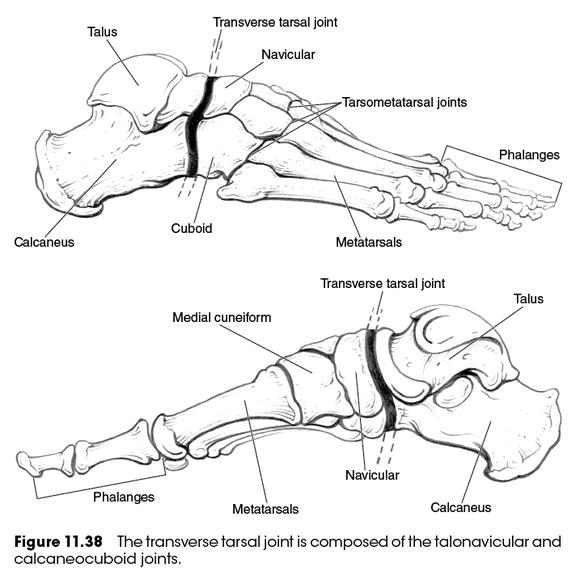 Tarsal joints; Intertarsal Joint; Tarsal Joint