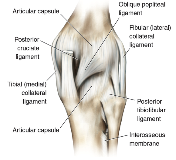 kinetic anatomy 3e: many ligaments make up knee's structure, Cephalic Vein