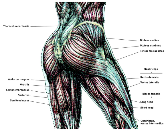 delavier's sculpting anatomy for women: learn more about, Muscles