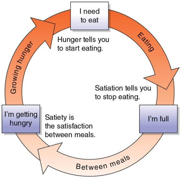 hunger and satiety This article discusses the physiological basis of hunger and satiety it describes the role of these mechanisms on body weight and weight control topics include palatability, genetic basis of hunger and satiety, hunger signals, biochemicals involved (ghrelin, cholecystokinin, glucagon-like peptide, insulin and glucagon), digestive physiology and central nervous system mechanisms.