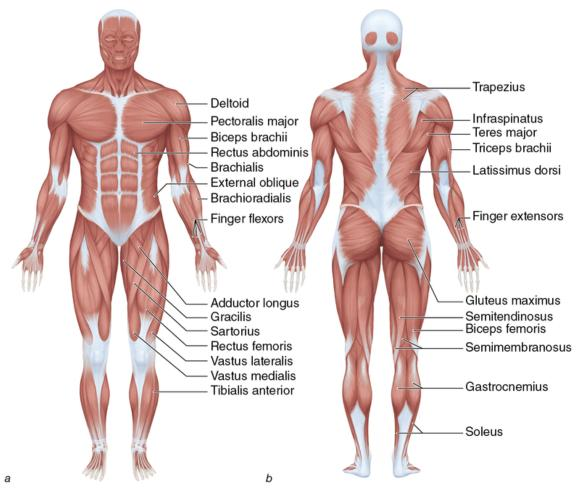 europeactive's foundations for exercise professionals: learn which, Muscles