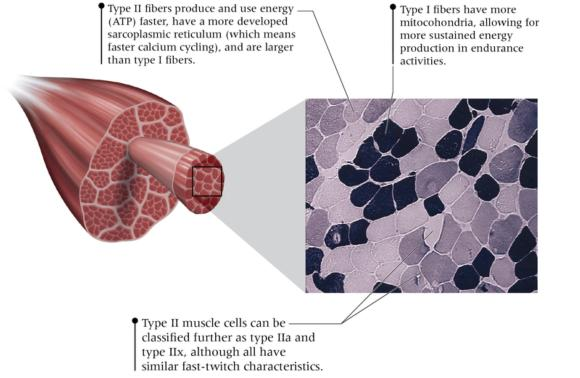 Practical Guide to Exercise Physiology: Different Cell Types