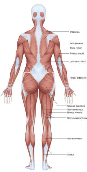 Figure 2.3 Full-body female anatomy (posterior view).