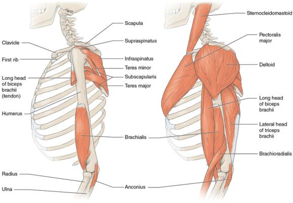 Figure 2.3 Muscle arrangement around the glenohumeral (shoulder) joint.