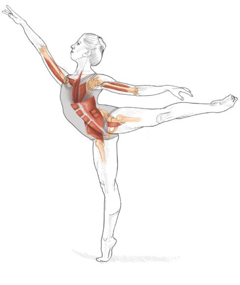 Dance Anatomy, Second Edition: Abdominal stretch demonstrated Stretching Internal Oblique Muscle